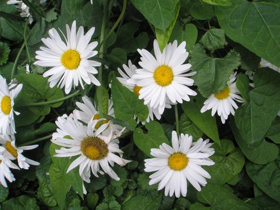 04_daisies